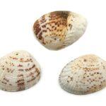 Clam schelpen, 24-35mm, Ivoor/Bruin gemeleerd, 50 gr